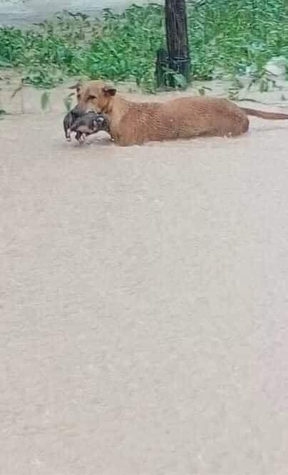 """Rơi nước mắt hình ảnh chó mẹ tha con giữa dòng lũ, hàng loạt động vật rưng rưng như kêu cứu, dân mạng xót xa: """"Người cứu còn không xuể, biết làm sao đây?"""" - Ảnh 2"""