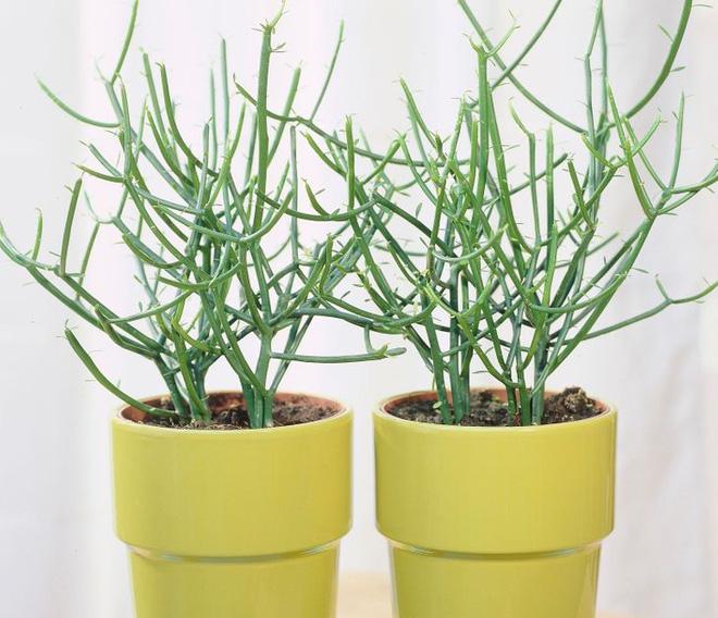 10 loại cây trồng trong nhà có thể gây ảnh hưởng xấu đến sức khỏe của bạn - Ảnh 9