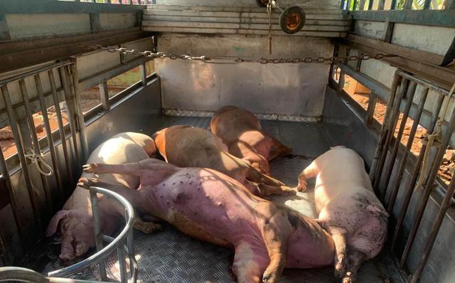 Thương lái xin lợn chết của người dân về xẻ thịt lợn bán kiếm lời - Ảnh 1
