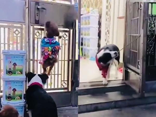 Chó 'thành tinh' mở cửa trốn đi chơi điêu luyện như điệp viên 007