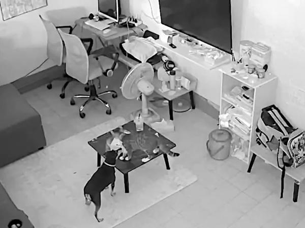 Chó và mèo 'song kiếm hợp bích', hợp sức lấy trộm hộp bánh của chủ rồi chia nhau