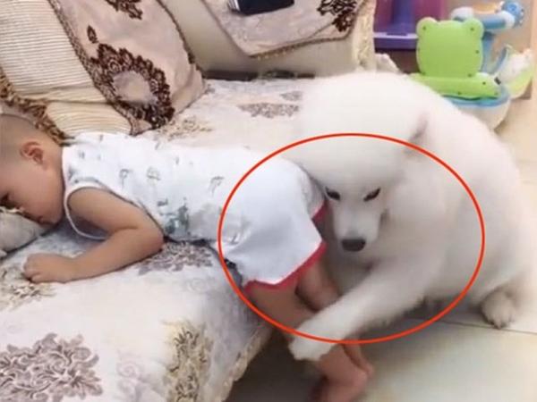 Tưởng cậu chủ nhỏ bị mẹ đánh, chú cún lao tới đỡ đòn làm tan chảy trái tim người xem