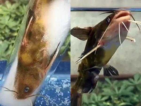 Clip hay ho: Cho cá vào làm kem que, thật bất ngờ khi thả lại vào nước, cá bỗng vẫy đuôi bơi lội tung tăng?