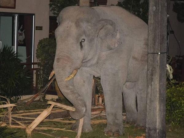 """Đột nhập vào nhà dân kiếm ăn, chú voi 4 tấn đụng độ mèo gan dạ, chưa kịp """"tung chưởng"""" thì con vật to xác đã bỏ của chạy lấy người"""