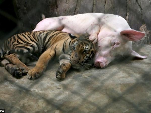 """Hổ con sắp chết đói vì không có sữa mẹ liền được đưa vào sống chung với """"mẹ lợn"""" và thái độ của nó khi trưởng thành khiến ai cũng bất ngờ"""