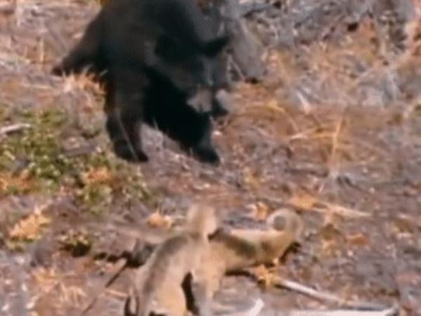 Kiếm chuyện với báo con, gấu đen bị báo mẹ 'giang hồ' đánh không trượt phát nào, chạy lên cây cũng không thoát