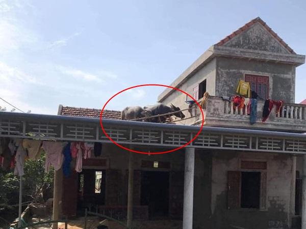 """Lũ về khiến đàn trâu bất đắc dĩ phải bơi lên mái nhà, bây giờ lũ rút, chủ nhà """"dở khóc dở cười"""" không biết đưa chúng xuống làm sao?"""