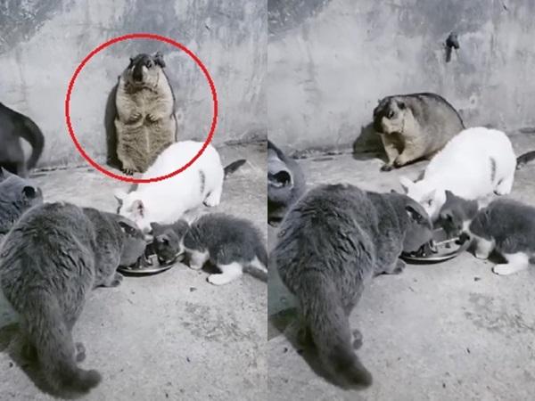 """Sóc béo tội nghiệp bị cả lũ mèo ham ăn cho """"ra rìa"""", đã thế dân mạng còn hùa vào trêu: Thôi thế cho giảm cân"""