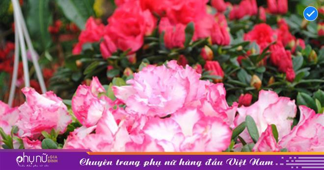 Hoa đỗ quyên có đặc điểm gì? Công dụng, cách chăm sóc cây hoa đỗ quyên chi tiết nhất