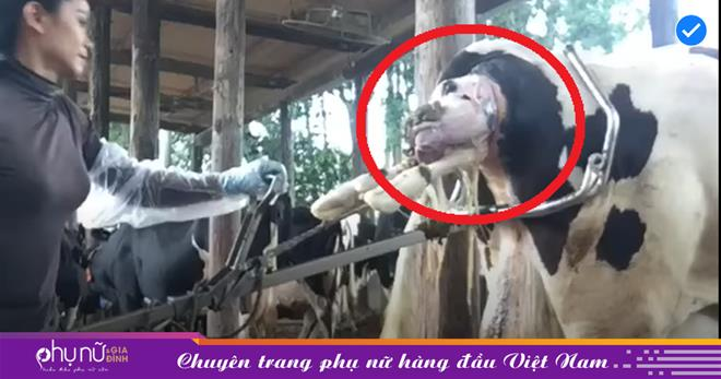 Cô gái ra sức kéo một vật từ trên người con bò sữa, thứ xuất hiện sau đó khiến mọi người thích thú
