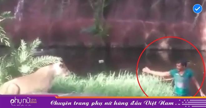 'Thót tim' khoảnh khắc người đàn ông vào sở thú 'cãi tay đôi' với sư tử, chồng bà nào thì vào 'hốt' về ngay
