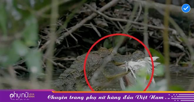 Cá sấu Caiman 'há miệng chờ sung rụng' trước màn tập bay của những chú chim diệc trắng non