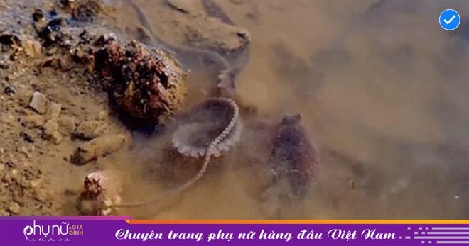 Dạo biển sớm tình cờ phát hiện bạch tuộc 'LẠ' có xúc tu dài quý hiếm