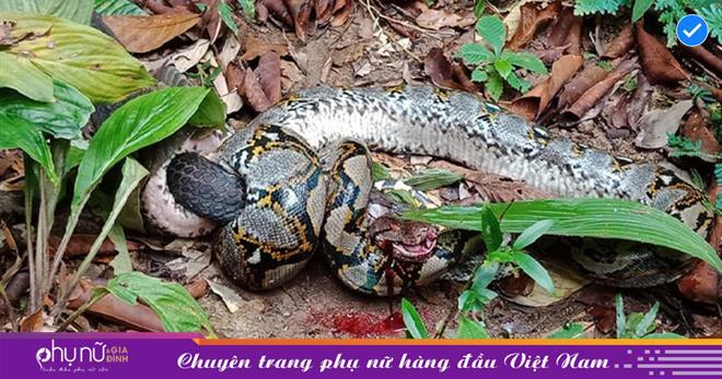 DỰNG TÓC GÁY trước cảnh tượng hổ mang chúa NUỐT CHỬNG trăn gấm 'khủng', kích thước lớn hơn 'vua rắn' gấp mấy lần