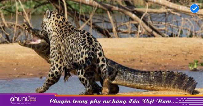 Không hổ danh là 'chuyên gia săn cá sấu', báo đốm PHI THÂN xuống nước TÓM GỌN 'quái vật đầm lầy' chỉ trong chớp mắt