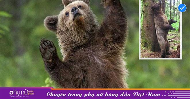 Nhìn con gấu nâu CỌ cơ thể lên cây như đang 'MÚA CỘT' và bí ẩn đằng sau khiến nhiều người bất ngờ