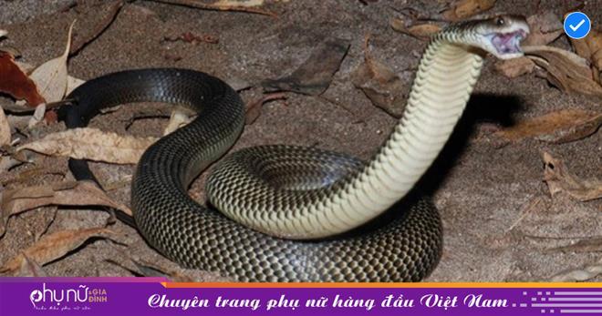 Rắn độc ẨN MÌNH trong hang vẫn không tránh khỏi sự tấn công của rắn Mulga, kẻ DỊ BIỆT nhất hành tinh