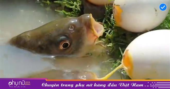 SỐC: Cho cá 'húp' trứng gà sống liên tục, người đàn ông thu lại kết quả ngỡ ngàng đến bật ngửa