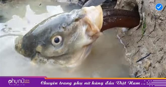 'Phục kích' ngoài cửa hang, 'sát thủ' nấp dưới vũng nước nuốt trọn những chú lươn trong 1 nốt nhạc