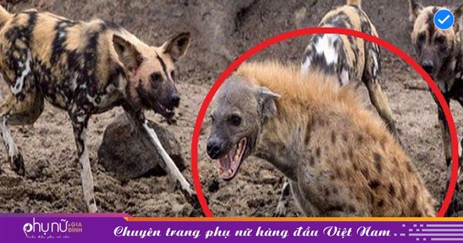 Linh cẩu 1 mình chống chọi với đàn chó hoang và cái kết khiến người xem vô cùng thảng thốt