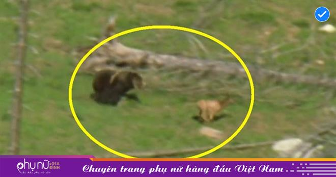 Gấu xám Bắc Mỹ trổ tài săn nai sừng xám, cuộc rượt đuổi kịch tính đến 'NGHẸT THỞ' không gì phim hành động
