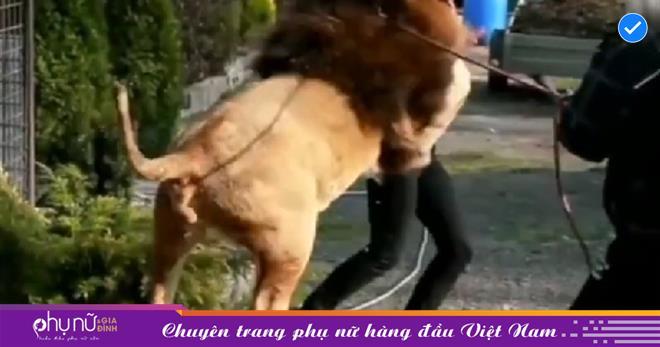 Những lần sư tử tấn công con người khiến ai cũng phải KHIẾP SỢ vì sự nguy hiểm của 'nhà vua'