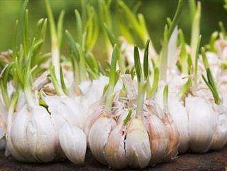 Vì sao nói tỏi mọc mầm chữa bệnh ung thư tốt nhất quả đất?