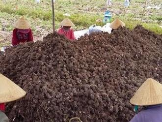Ngôi làng 3.653 người xưa nay chưa có ai bị ung thư: Bí quyết ở một món khoai dân dã