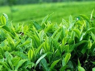 Cách trị rụng tóc bằng trà xanh đơn giản mà hiệu quả tức thì