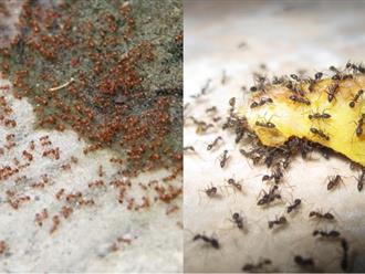 Mẹo nhỏ cực hay để trong nhà bạn không có con kiến nào mà không cần thuốc diệt