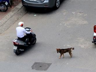 Hà Nội chưa xử phạt người không rọ mõm chó ra đường