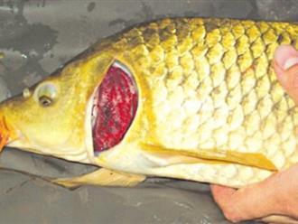 Đây là nguyên nhân dù đắt hay rẻ bạn cũng nên bỏ tiền ra mua cá chép về cho cả gia đình ăn