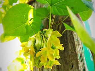 Là cây cảnh, lá và hoa của cây này làm thuốc dưỡng thận - bổ dương, phòng ung thư rẻ tiền