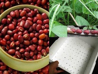 Cách trồng đậu đỏ đơn giản tại nhà, ăn cả năm không hết