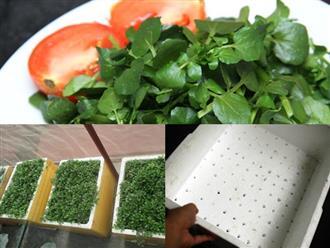 Cách trồng xà lách xoong đơn giản trong thùng xốp ngay tại nhà, chỉ sau 1 tháng là có ăn