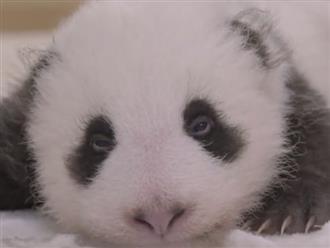 Cận cảnh khuôn mặt đáng yêu của gấu Panda mới sinh khiến cả thế giới mê mệt