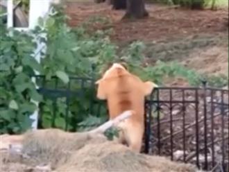 Chú chó béo núc ních cố trèo hàng rào để bắt thỏ nhà hàng xóm khiến dân mạng cười xỉu