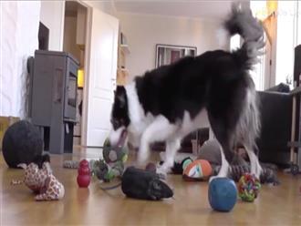 Chú chó có khả năng ghi nhớ siêu phàm khiến dân mạng thán phục