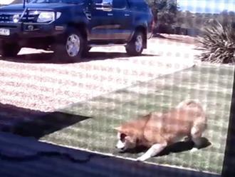 Cảm động cảnh chú chó quyết tâm chiến đấu với rắn đến cùng để bảo vệ gia đình chủ