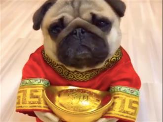 Chú chó rưng rưng xin lì xì dù chưa đến Tết nhận triệu like trên mạng xã hội