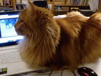 Chú mèo chăm chỉ bắt ruồi với biểu cảm hài hước nhưng bộ lông lạ lùng mới gây chú ý