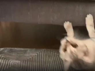 Chú mèo đi theo kiểu ngược đời khiến ai dân mạng cười ngất