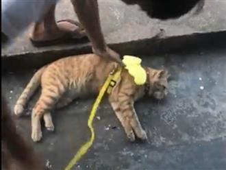Chú mèo lười biếng, đi 3 bước lại nằm nghỉ, 'sen' phải bế dậy khiến dân mạng cười ngất