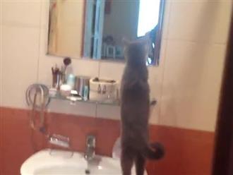 Cười xỉu với chú mèo tự ngưỡng mộ nhan sắc của mình khi soi gương