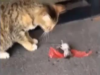 Chuột giả chết siêu đỉnh trước mặt mèo và những màn đào thoát cười ra nước mắt