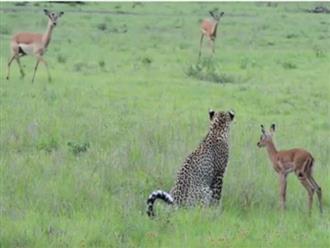 Chuyện hiếm thấy: Kẻ săn mồi báo hoa mai bỗng dưng làm 'bảo mẫu' cho linh dương