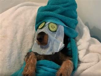 Clip: Chó, mèo được chủ cho đi spa, chăm sóc da như quý tộc khiến ai cũng ghen tỵ