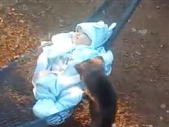 Clip chú chó đáng yêu ngoan ngoãn đưa võng ru em bé gây xôn xao