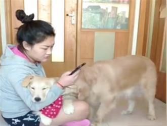 Clip: Chú chó quyết tâm kéo đồng loại ra khỏi tay cô chủ vì ghen tỵ khiến dân mạng cười ngất