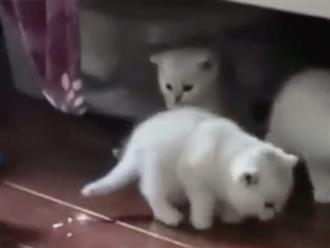 Đàn mèo trắng như tuyết khiến ai cũng muốn mang về nuôi